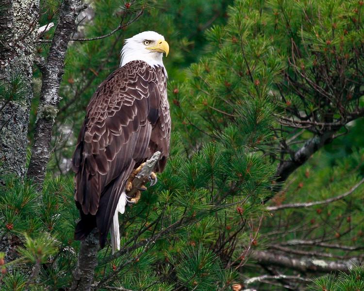 Ospreys and Eagles